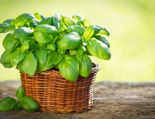 Growing Basil at Home
