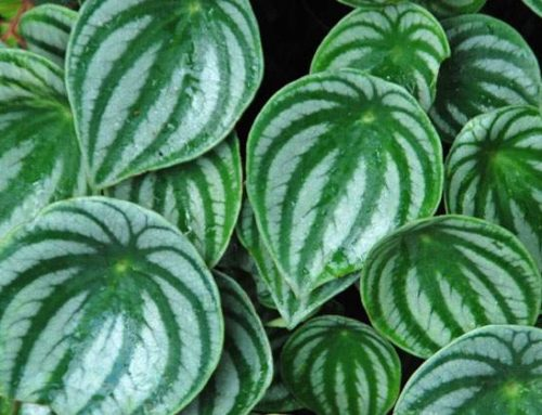 How to take care of the peperomia plant