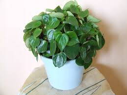 Peperomia scandens