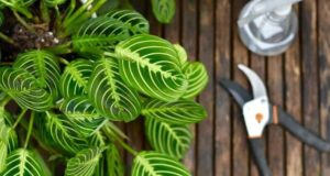 prayer plant care tips