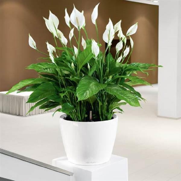 peace lily plant care