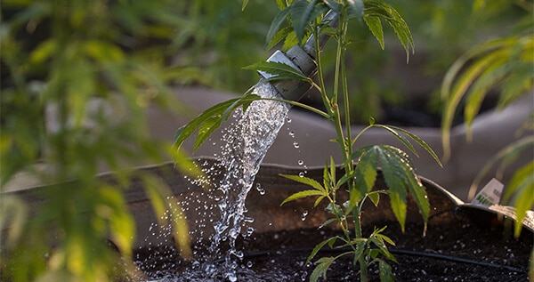 water cannabis plant
