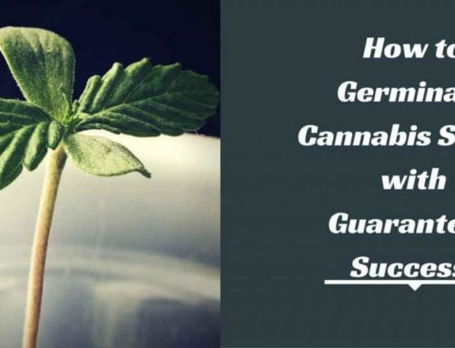 How to Germinate Cannabis Seeds (Quickly)