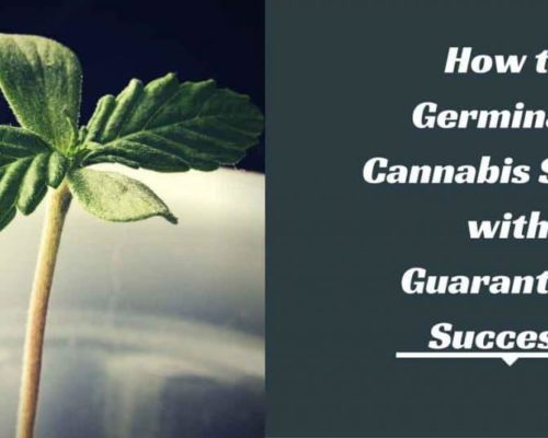 how-to-germinate-cannabis-seeds