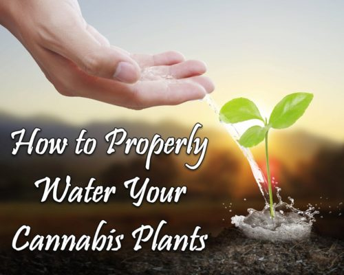how to water cannabis plants