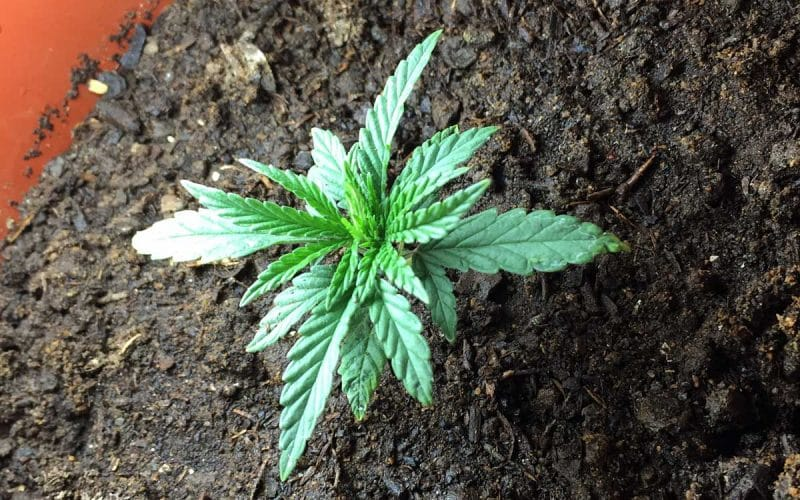 Most Common Mistake Made by New Cannabis Growers