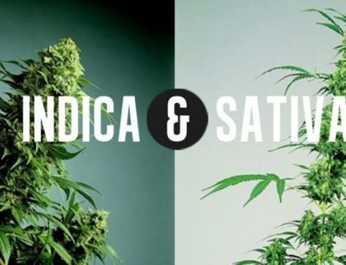 What is Difference between Indica & Sativa