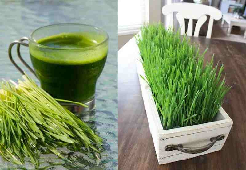 Grow and Drink Fresh Wheat grass Juice at Home