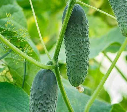 growing cucumber plants