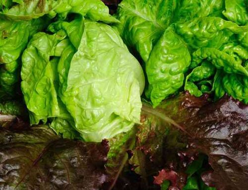 Grow Green leaf lettuce in Simple Steps