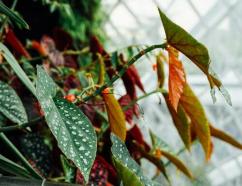 Begonia Maculata Care Tips and Growing Methods