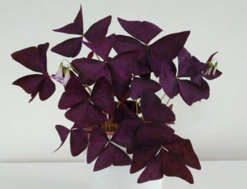 Oxalis Triangularis Care tips and Growing Techniques