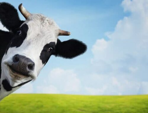 Cow Manure : Its Benefits and Uses