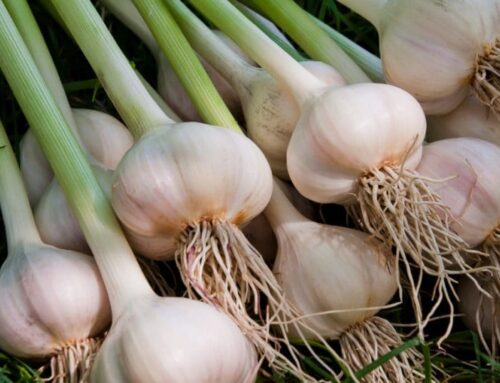 How to Grow Garlic Indoors in Pots and Containers
