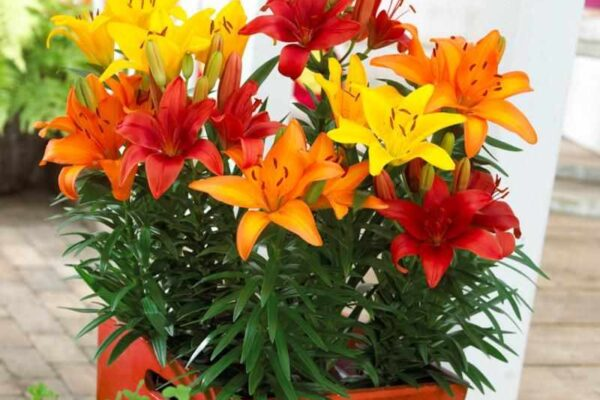 lilies in containers