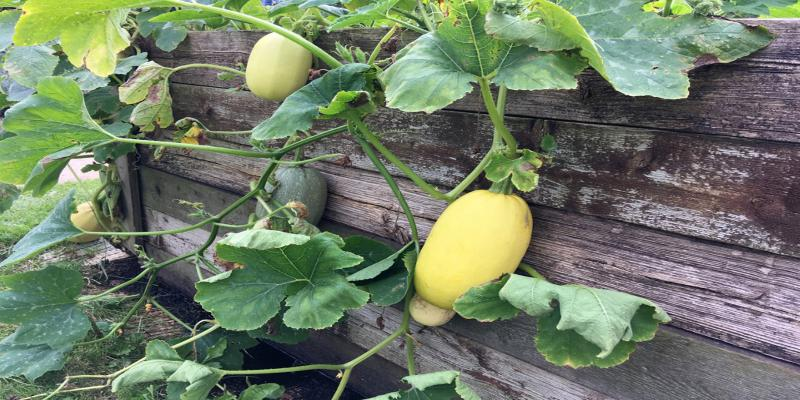 Growing Spaghetti Squash at home in Easy steps