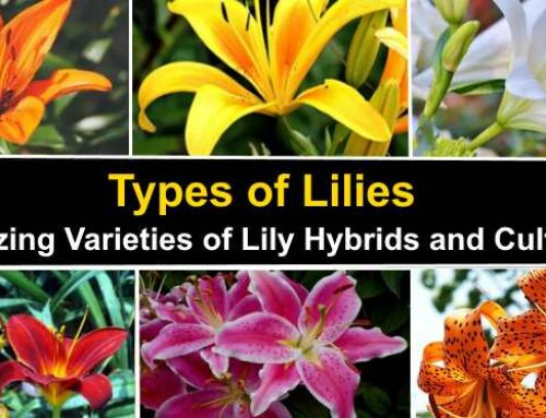 7 Best Types of Lilies for home Garden and care tips
