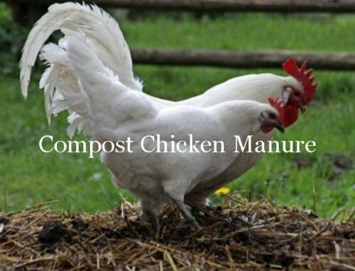 Composted Chicken Manure and its Uses in Your Garden