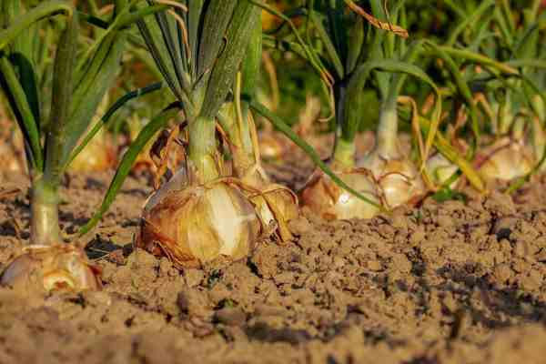 onion-plants-caring-for
