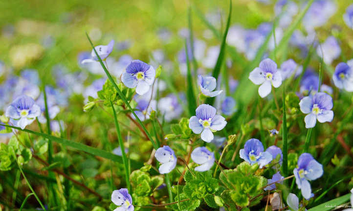 Creeping speedwell | A Good ground Cover for Gardens