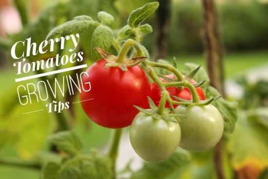 Growing Disease Free Cherry Tomatoes in Simple Steps