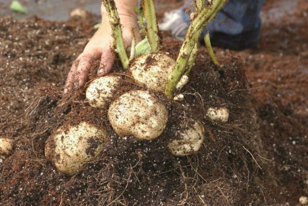 when to harvest potatoes
