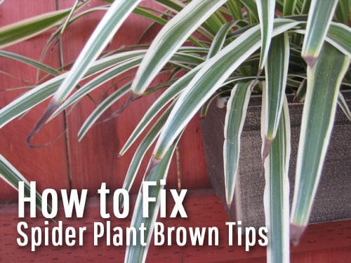 spider-plant-brown-tips