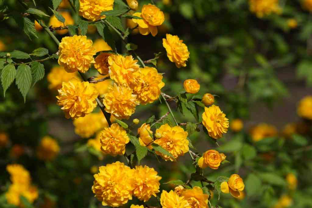 Grow Japanese Rose Plant in your Garden
