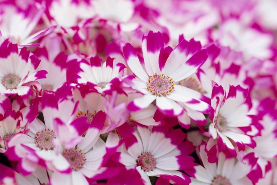 How to Grow different type of Cineraria plants?