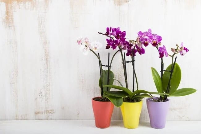 Phalaenopsis orchid care Ultimate Guide