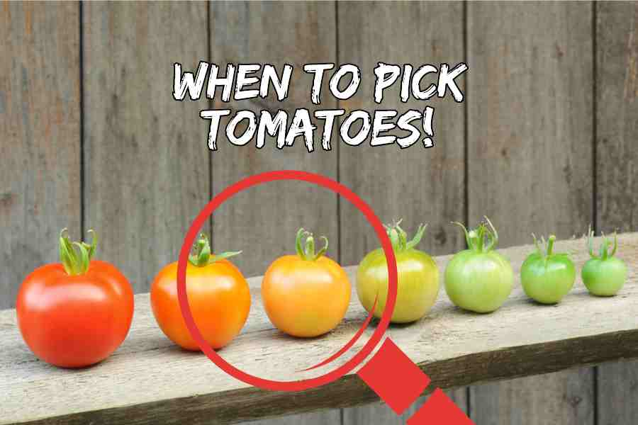 when-to-pick-tomatoes