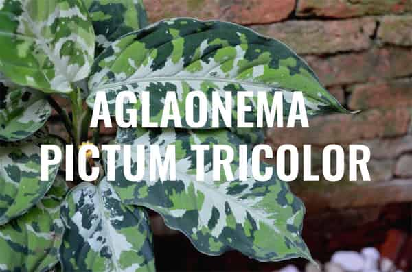 Aglaonema Pictum Tricolor Care guide