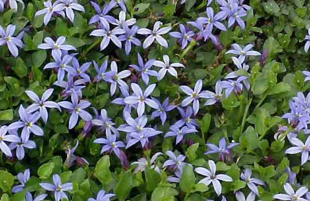 Blue Star Creeper Ground Cover