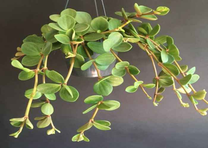 Peperomia hope in hanging baskets