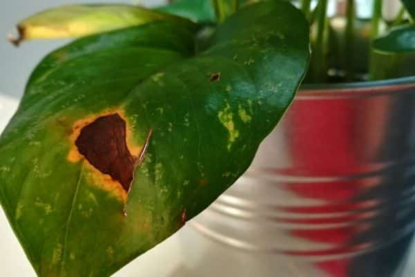 Pothos-Leaves-Turning-Brown-causes-and-fixes