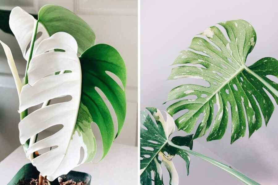 Monstera deliciosa Vs borsigiana difference and Care Guide