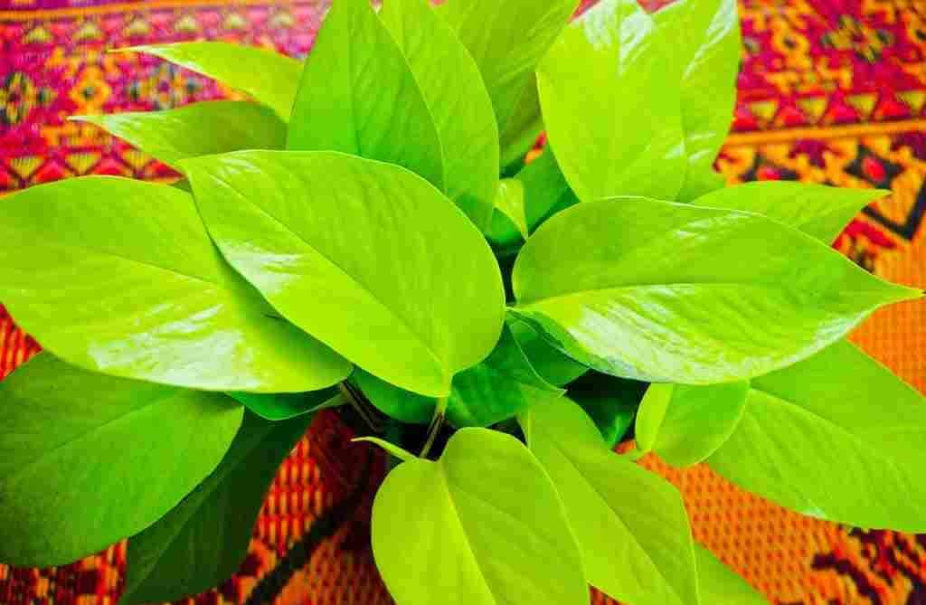 Neon Pothos Care guide for new Growers