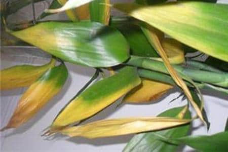 yellow leaves of lucky bamboo