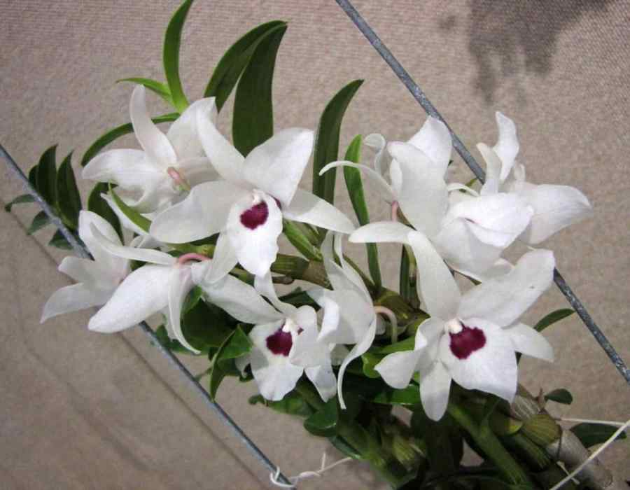 Dendrobium Nobile orchids care and flowers
