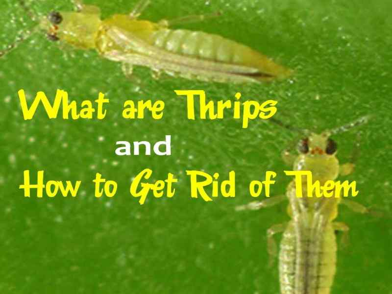 How to get rid of thrips?