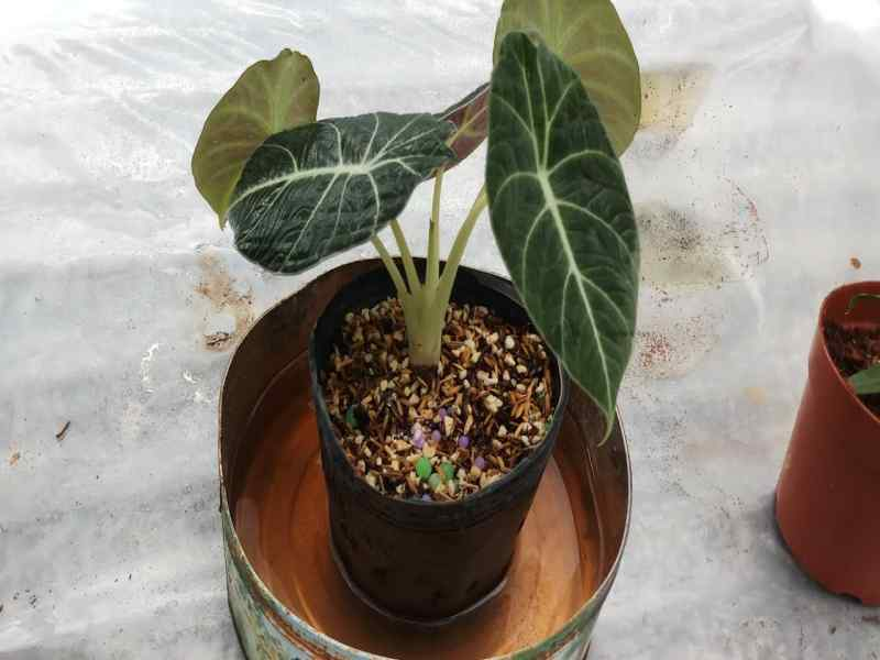 alocasia-black-velvet-care