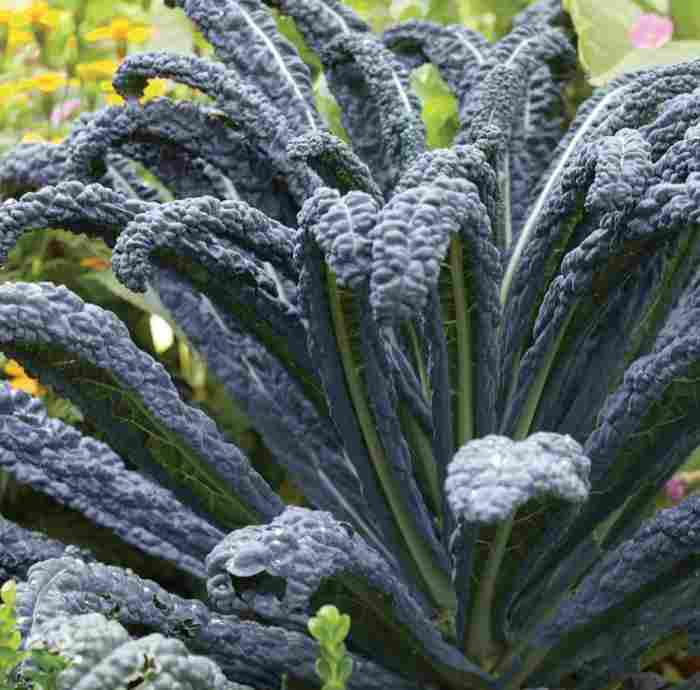 black magic kale