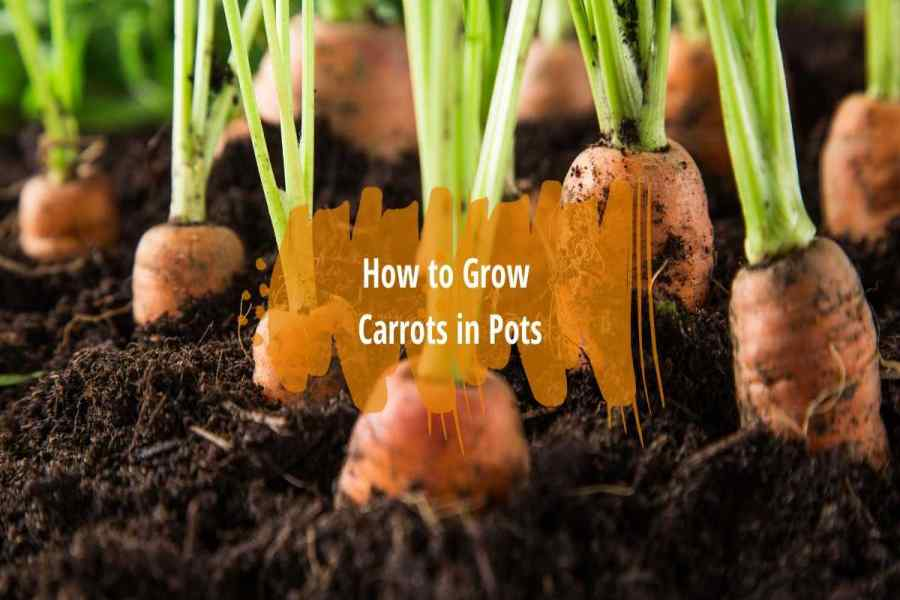 grow-carrots-in-pots