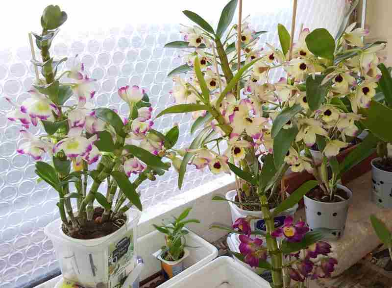 how-to-care-for-a-dendrobium-nobile-orchid