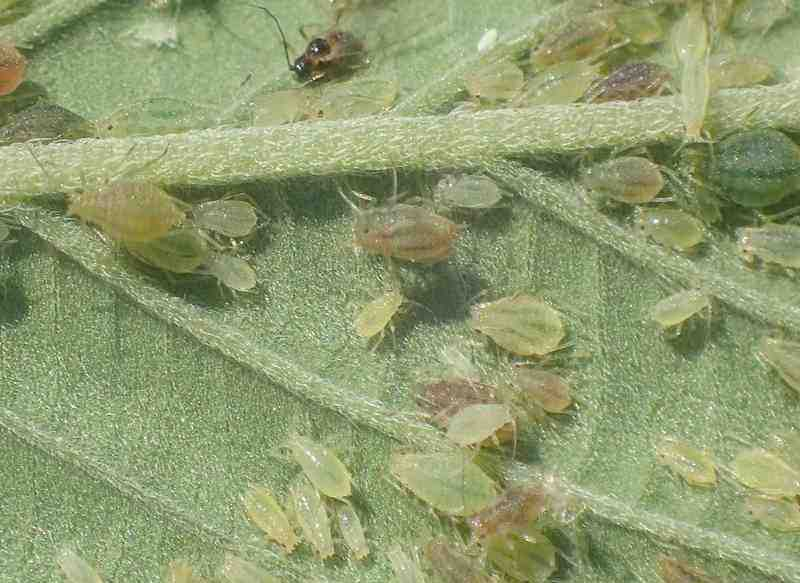 kill aphids