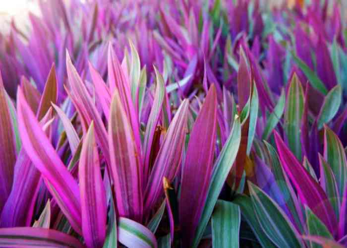 oyster-plant-care-tradescantia-spathacea