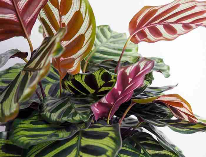 peacock-calathea-plant-care-guide