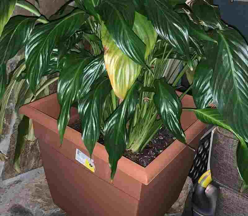 extra large peace lily pot