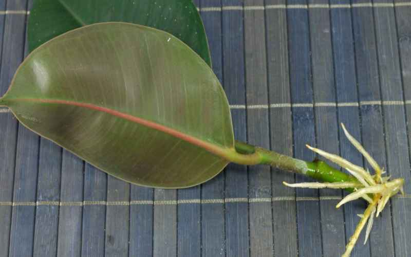 how to propagate rubber plant