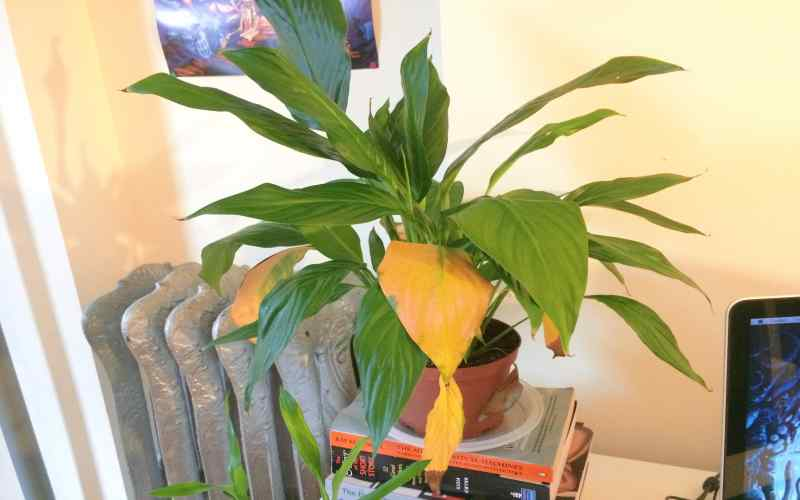 how to save overwatering peace lily